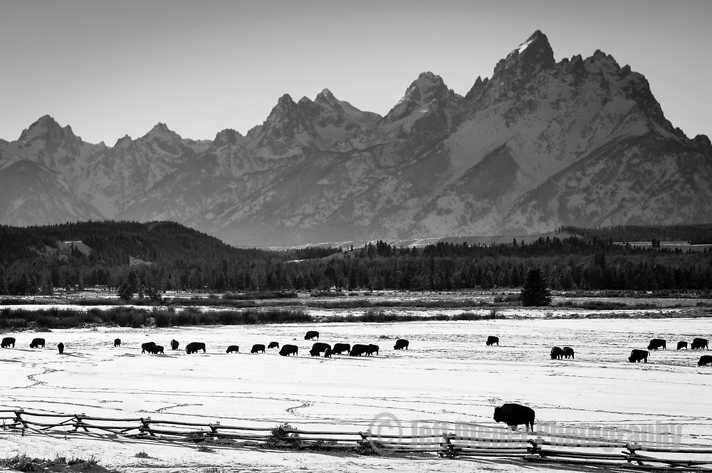 Bison graze snowy meadows in Grand Teton National Park, Jackson Hole, Wyoming.