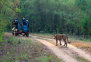 Tiger meeting with tourists in Kanha National Park, India. April 2014.