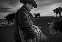 POST, TX - DECEMBER 11:  Sixth generation cattle rancher Mark Kirkpatrick feeds his yearly heifers on his  ranch, named the Stoker-Kirkpatrick Ranch, in Post, Texas on Wednesday, December 11, 2013.  Kirkpatrick is politically conservative --- believing less  government is better government.    (Melina Mara/The Washington Post)