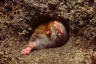Deutschland, DEU, Cuxhaven: Goldhamster (Mesocricetus auratus) zwängt sich durch ein Loch in seinen unterirdischen Bau. | Germany, DEU, Cuxhaven: Golden hamster (Mesocricetus auratus) squeezing through a hole in its subterranean burrow. |