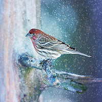A Purple Finch Perched On A Tree Limb During A Snow Storm