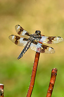 Eight-spotted Skimmer (Libellula forensis), Dragonfly on rose stem