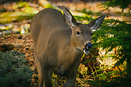 Deer chewing foliage - Point Defiance, Tacoma, WA