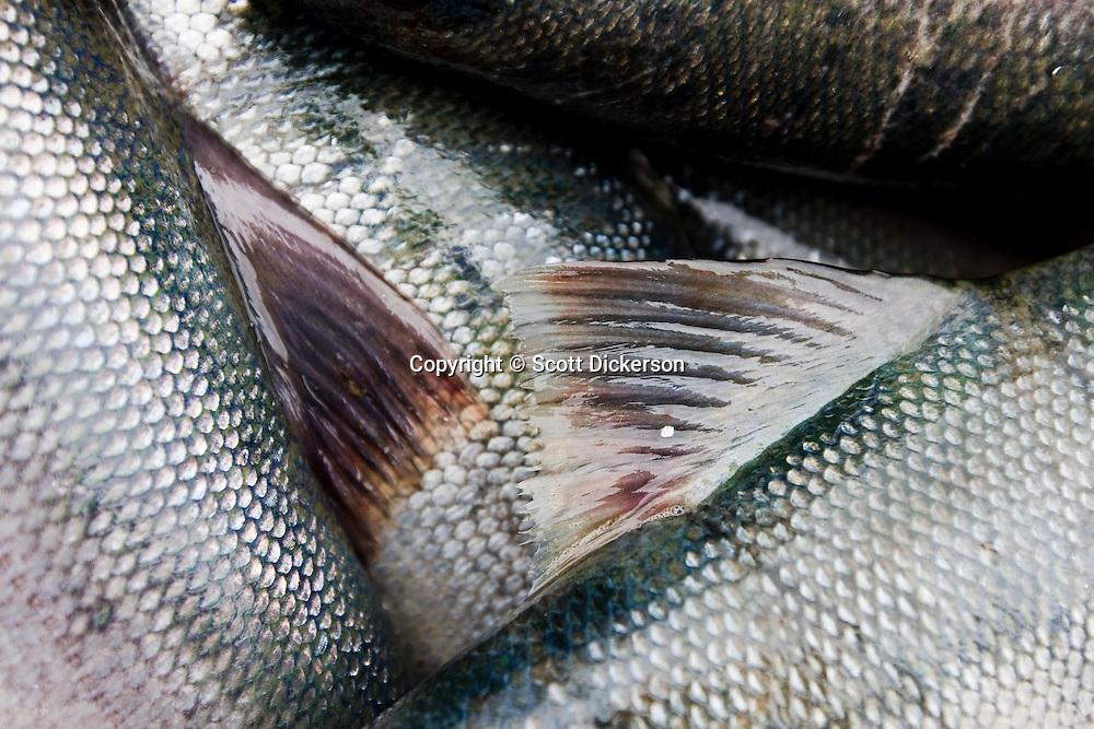 Bristol Bay sockeye salmon caught in a subsistence gillnet in the Newhalen River, Iliamna, Alaska.