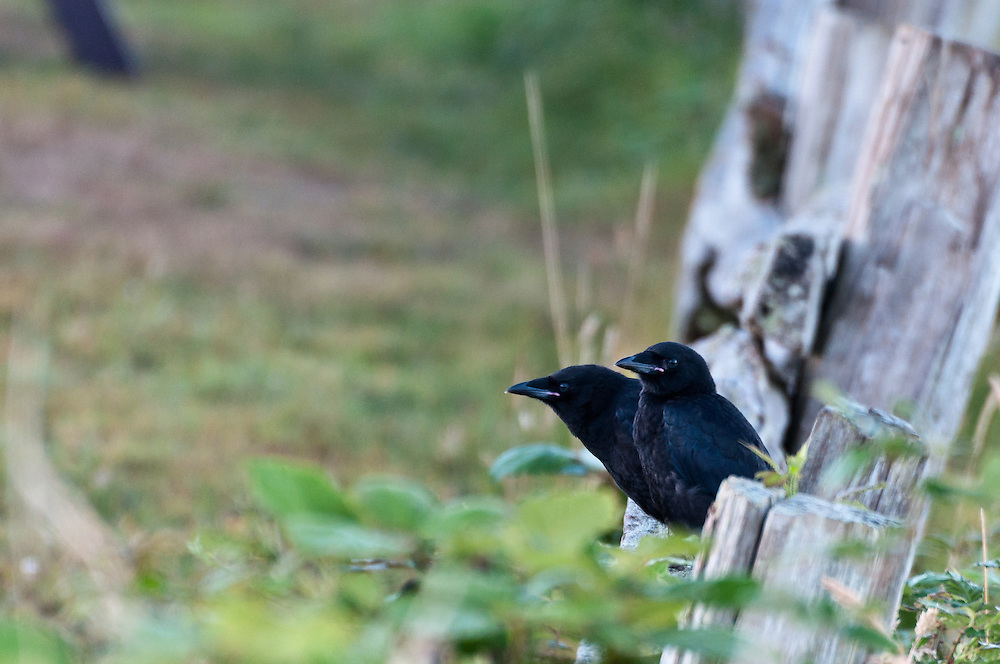 Two immature Northwestern Crows waiting their parents on a fence at Kalaloch, Olympic National Park.