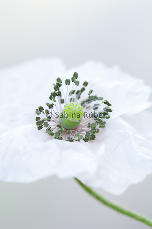 Papaver rhoeas 'Mother of Pearl' - poppy