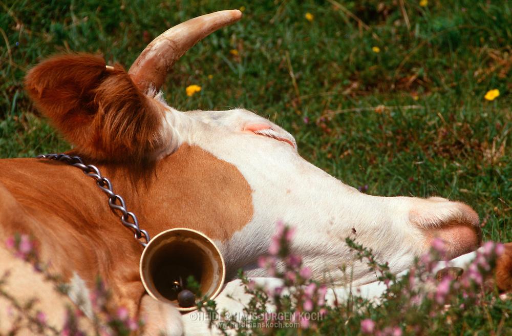 DEU, Deutschland: Hausrind (Bos taurus), schlafende Kuh mit Glocke um ihren Hals auf einer Bergwiese, Rasse: Fleckvieh, Simmentaler, Berchtesgadener Land, Süddeutschland | DEU, Germany: Domestic cattle (Bos taurus), sleeping cow with bell around neck lying on pasture, race: Simmental Cattle, Berchtesgadener Land, Bavaria, Southern Germany |