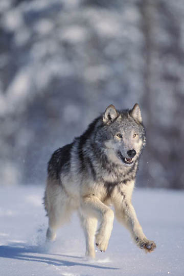 Gray Wolf, (Canis lupus) Adult running. Winter. Midwest. Captive Animal.