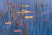 Reeds and water lily pads<br />