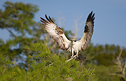 Showing of his 5 FT wing span, a male osprey drys off his wings before another trip to the water for fish.<br /> Blue Cypress Lake, FL