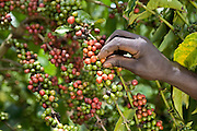Ripe coffee beans being picked by Patrick Kajjura a coffee farmer. They are ready for drying before going to the Kulika centre to be sold to Ibero Coffee. Their coffee plants are in the Kamuli region of Uganda. The Kulika project run Sustainable Organic Agricultural Training Programs.