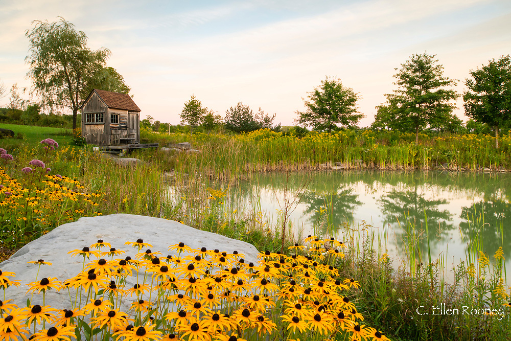 Rudbeckia fulgida and Solidago rugosa growing around a pond in Upstate New York, U.S.A.