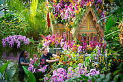 Thai Orchid Festival at Kew Gardens, London, Great Britain <br /> 8ths h February 2018 <br /> <br /> A celebration of Thailand's vibrant colours, culture, and magnificent plant life.<br /> <br /> Thousands of orchids and tropical plants exploding with colour in stunning displays <br /> The perfect ways to beat the winter blues, in a hot and balmy glasshouse <br /> The festival runs from Saturday 10 February to Sunday 11 March 2018<br /> <br /> <br /> Kew staff in action putting the finishing touches to the stunning horticultural displays – on ladders, in the ponds and walking<br /> <br /> An exquisite 4 metre Bang Pa-In-inspired palace rises from the central pond covered in pink, yellow and orange orchids <br /> <br /> A larger than life water dragon covered in bright orchids <br /> <br /> Models wandering through the colourful Vanda tunnel <br /> <br /> Beautifully handcrafted floating Thai umbrellas and traditional gold carts on loan from the Thai embassy <br /> <br /> A traditional Thai market boat and rice paddy floating in a pond, covered in yellow and white orchids<br /> <br /> Photograph by Elliott Franks