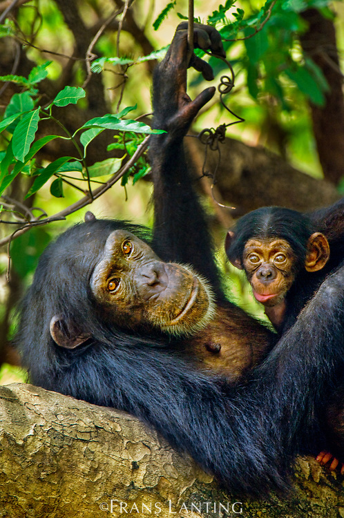 Chimpanzee mother with newborn infant, Fongoli, Senegal