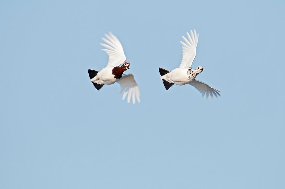 Willow Ptarmigan, Lagopus lagopus, male chasing female, Yukon Delta NWR, Alaska