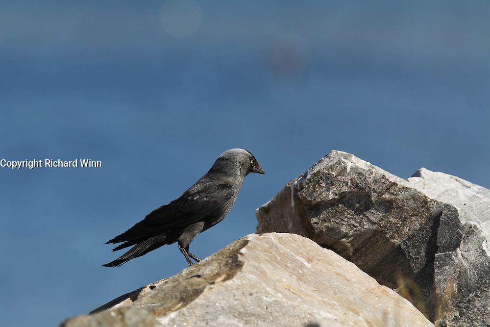 Jackdaw on a rock at Cromarty, with the blue of the firth in the background.