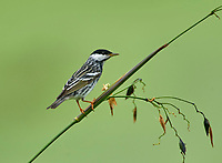 Blackpoll Warbler (Dendroica striata),  Green Cay Nature Centre, Delray Beach, Florida, USA   Photo: Peter Llewellyn