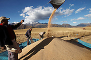 Peruvian farmers harvest wheat high up in the Andean mountain range.