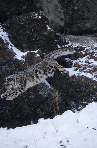 Snow Leopard (Panthera uncia) leaping from a rock ledge.  Snow Leopards inhibit the Himalaya Mountains in Asia.  Captive Animal.