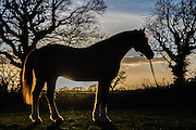 Morgan, an 18 year old Gelding in Silhouette, stabled in East Sussex Photo Jane Stokes / DJ Stotty Images