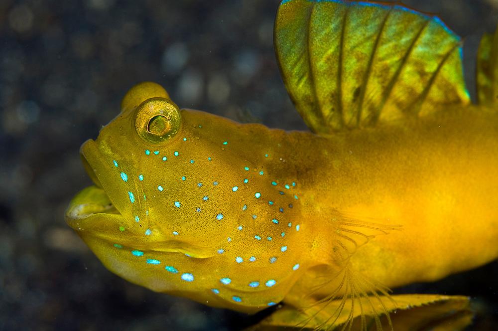 Yellow Shrimp Goby (Cryptocentrus cinctus) in Lembeh Strait in North Sulawesi, Indonesia.