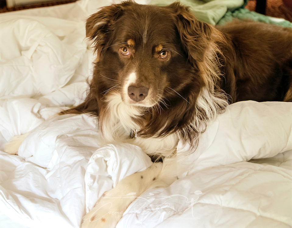 Cowboy, a six-year-old Australian Shepherd, relaxes in his hotel room in Atlanta, Georgia, May 19, 2014. (Photo by Carmen K. Sisson/Cloudybright)