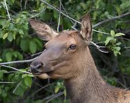 Elk cow portrait with ears and eyes aligned forward, Greater Yellowstone Ecosystem, © 2019 David A. Ponton
