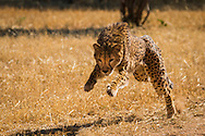 While they are being rehabilitated by the Cheetah Conservation Fund, cheetahs are regularly given exercise, as they are not actively hunting game.