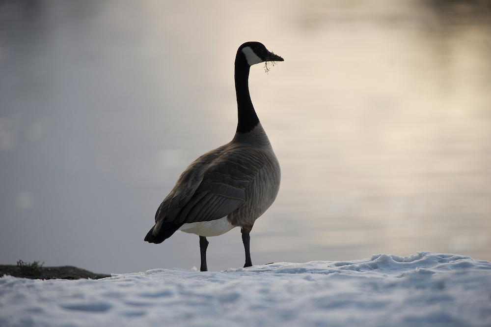 goose standing along the Deschutes River during sunset.
