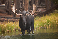 As a driving rain begins to fall, a massive bull moose pursues a moose cow through the waters of Sprague Lake in Rocky Mountain National Park.