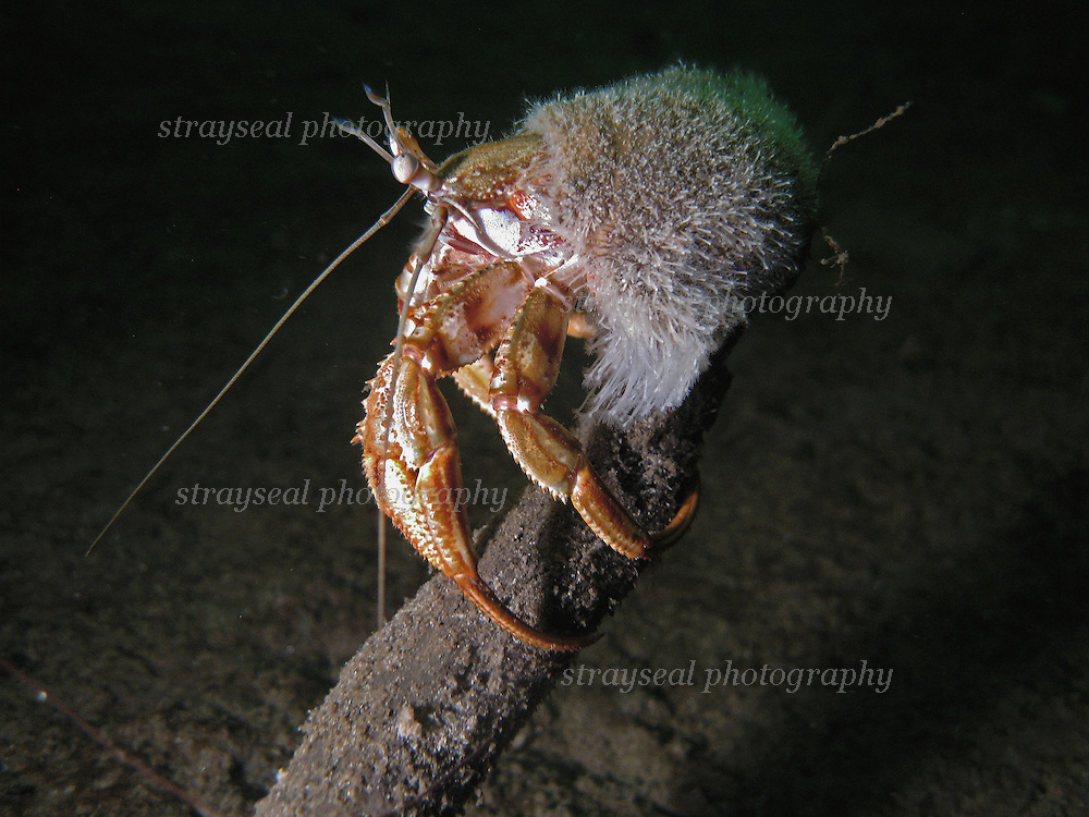 Hermit crab clinging to a stick in Loch Fyne
