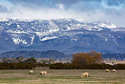 Sheep graze at the foot of the Great Western Tiers near Bracknell in Tasmania's northern midlands.