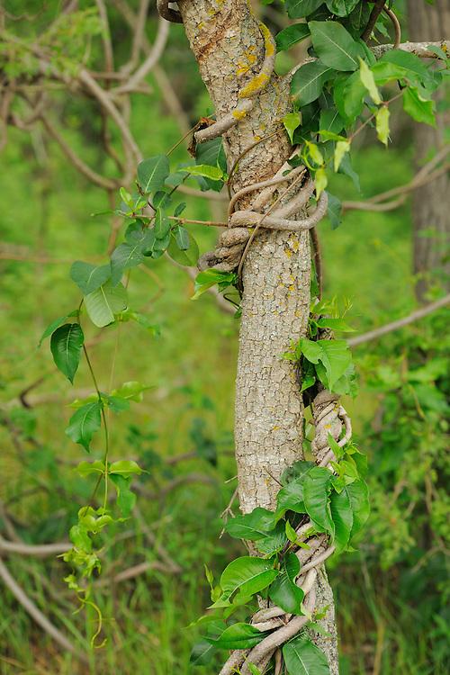 Silk vine, Periploca graeca, Letea forest, Strictly protected nature reserve, Danube delta rewilding area, Romania