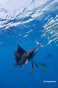 Atlantic sailfish, Istiophorus albicans, seizes sardine from bait ball of Spanish sardines (aka gilt sardine, pilchard, or round sardinella ), Sardinella aurita, off Yucatan Peninsula, Mexico ( Caribbean Sea )