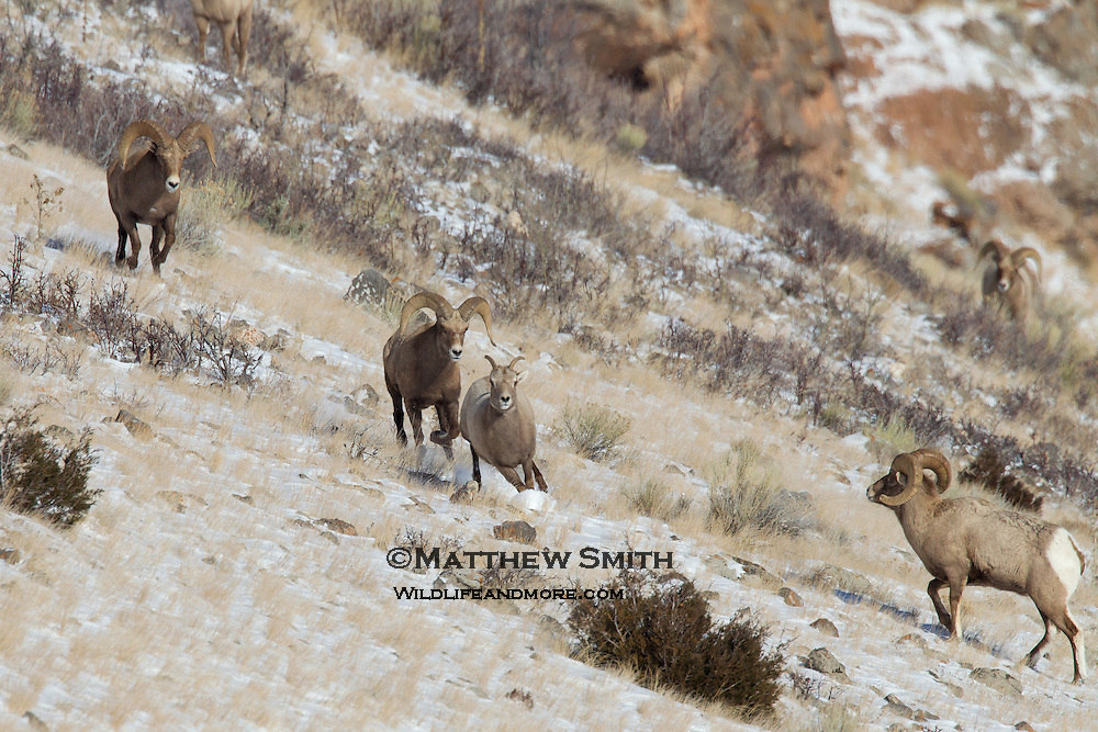Big Horn Sheep in the National Elk Refuge Wyoming