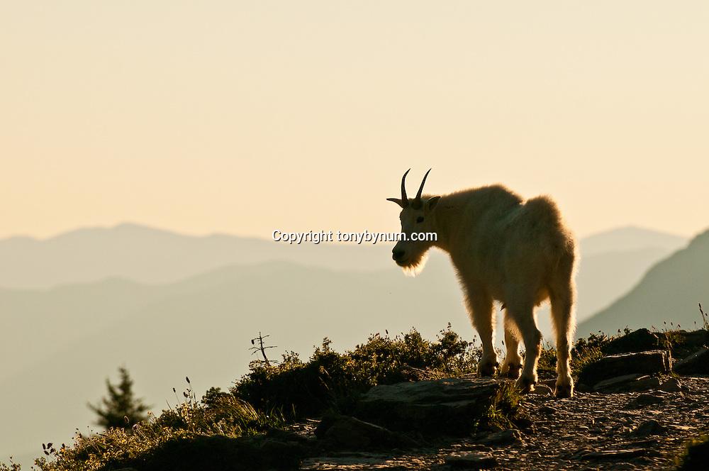 mountain goat on cliff backlit glacier national park