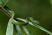 Rusty whip snake (Chironius scurrulus)<br /> Rainforest<br /> Rewa River<br /> Iwokrama Reserve<br /> GAYANA. South America<br /> RANGE: Guatemala to Brazil.