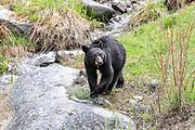 Young black bear in streamside habitat