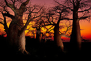 Baobabs at sunset, Makgadikgadi Pans, Botswana