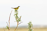 Eastern Yellow Wagtail (Motacilla tschutschensis) perched in willow near Nome in Northwest Alaska. Spring. Morning.