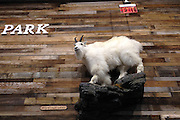Instore diorama taxidermy display of a mountain goat at Cabela's Outpost store in Kalispell, Montana
