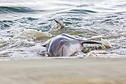Atlantic bottlenose dolphins feed on fish they corralled onto the beach during stand feeding at Captain Sam's Inlet September 3, 2014 in Kiawah Island, SC. This unusual practice involves a group of dolphins herding a school of fish onto the beach and then launching their bodies out of the water and onto the shore to feed and is only found in a few places on earth.