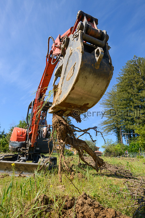 Removal of old vines prior to replanting.