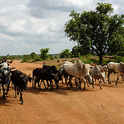 Cows being herded along the road through the village of Lyssah in the Upper West region of Ghana.