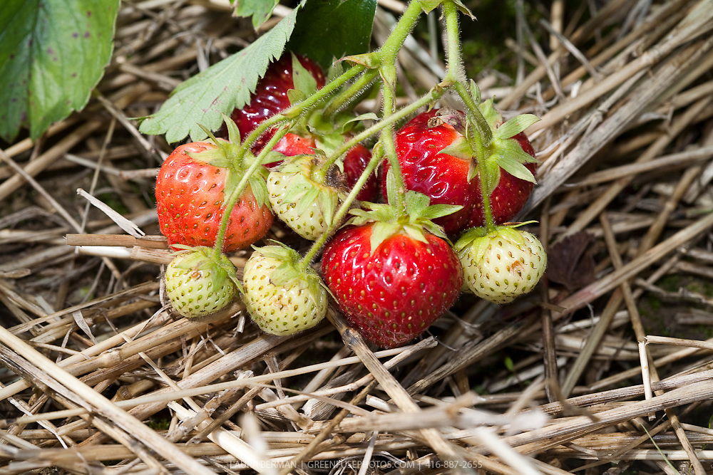 Ripe Strawberries ready to be picked.
