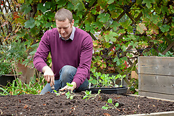 Planting out spring cabbage