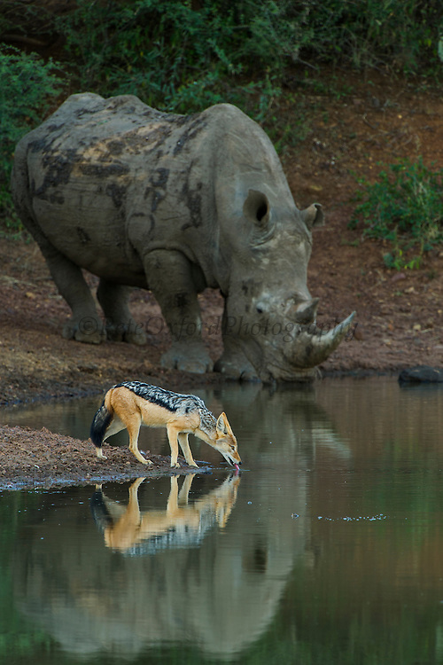 White Rhinoceros (Ceratotherium simum) & Black-backed Jackal (Canis mesomelas)<br /> Private Reserve, <br /> SOUTH AFRICA<br /> RANGE: Southern & East Africa<br /> ENDANGERED SPECIES