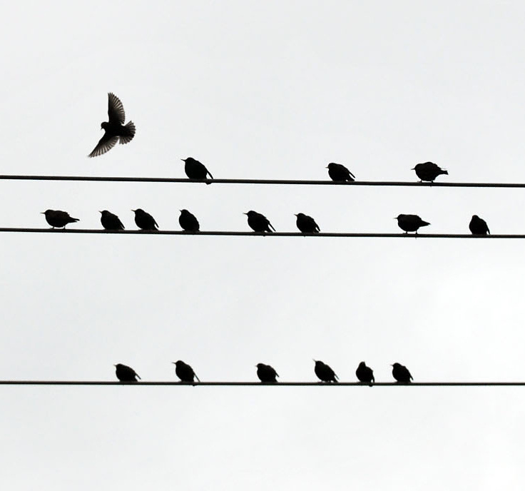 2012: Everyday Life. Birds on lines photographed in Charlotte, NC, on Sunday, February 19, 2012.<br /> <br /> Photo by Yoshi James