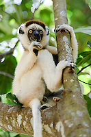 Verreaux's sifaka eating a leaf in a tree, Nahampoana Reserve, Fort Dauphin, Madagascar.