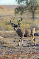 Trophy Mule Deer Buck following Doe